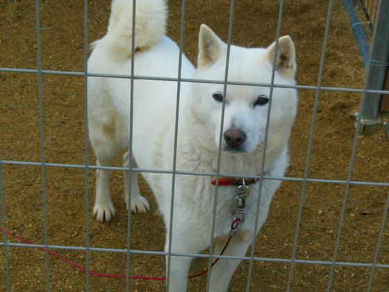 獣害対策犬として働く保護犬
